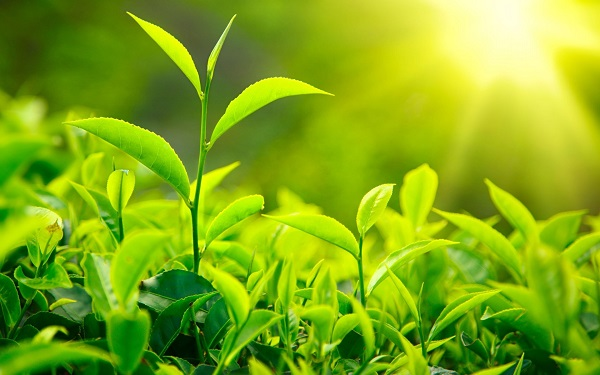 Trà xanh không chỉ có tác dụng giảm cân mà còn giúp thanh lọc cơ thể và chống lão hóa
